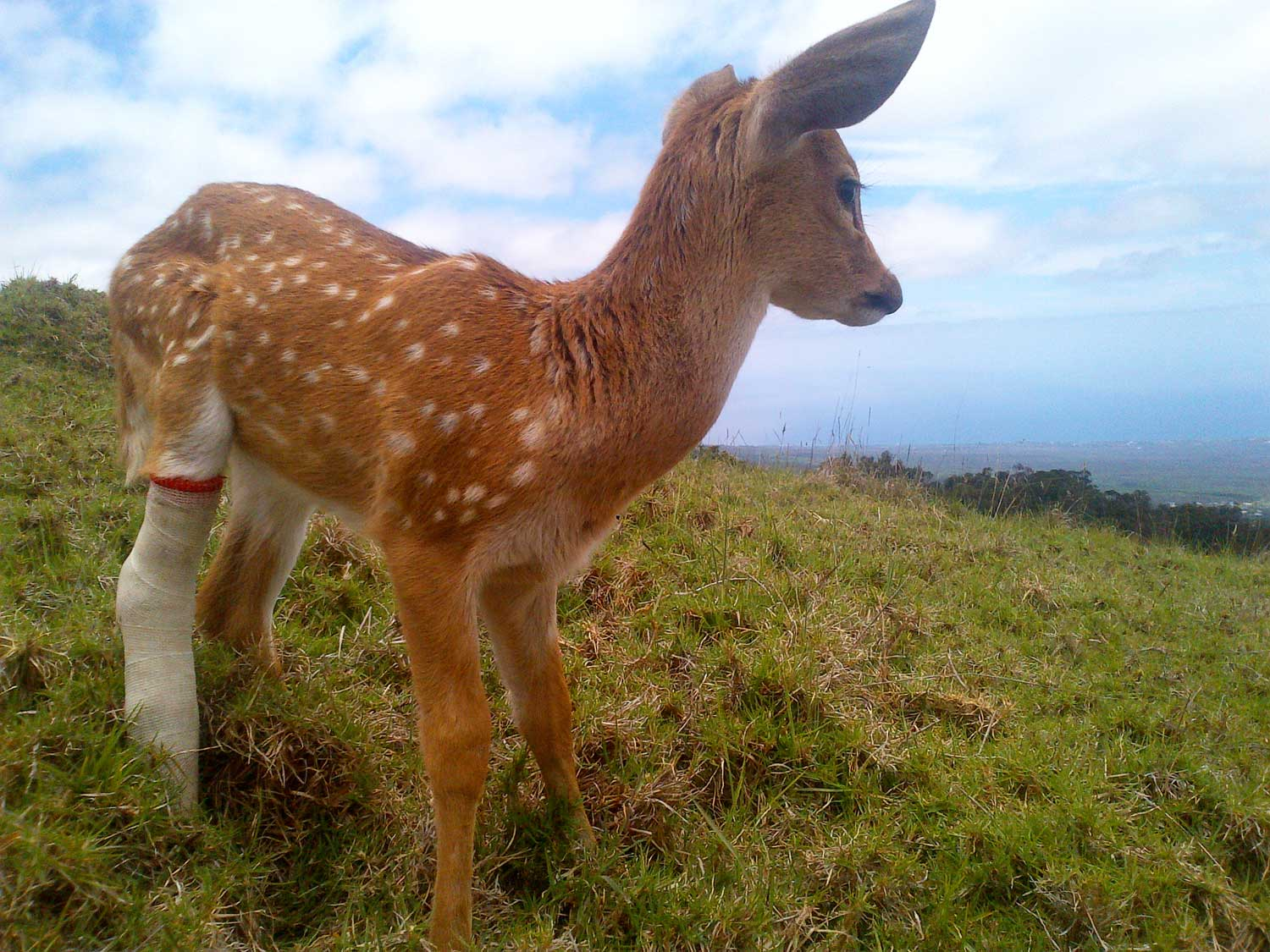 Baby Fawn with Broken Leg